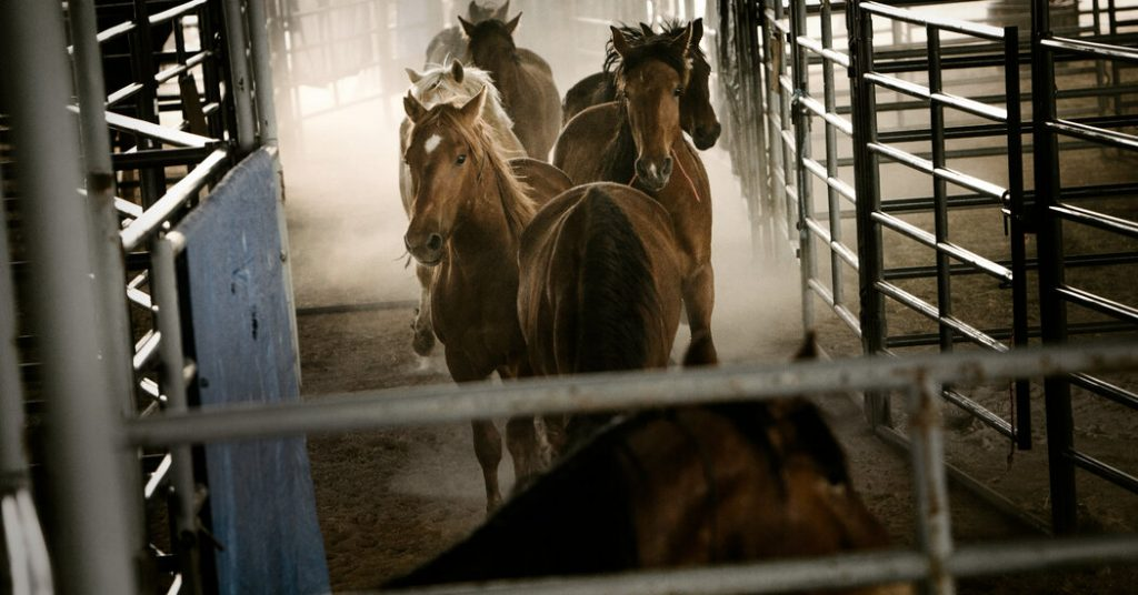 Wild Horses Adopted Under a Federal Program Are Going to Slaughter